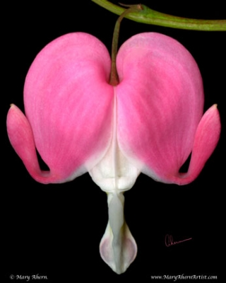 Dicentra spectabalis - Bleeding Heart