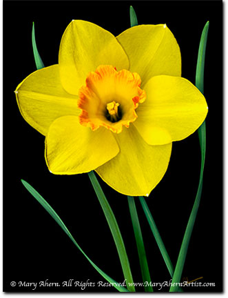 http://www.maryahernartist.com/art-blog/wp-content/uploads/2008/04/yellow-daffodil-mary-ahern.jpg